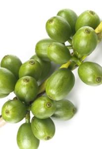 Unripe coffee still on its branch